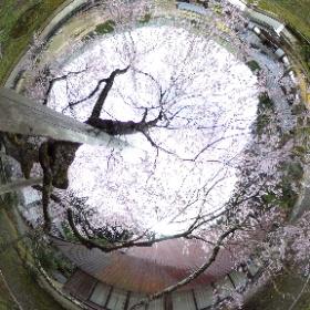 #sakura3d #福徳寺 2021/03/29 花吹雪   #theta360