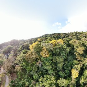 360 photo of the Guayacán trees in their yellow blooms! #theta360