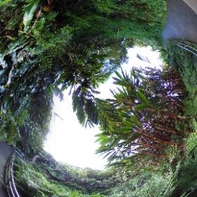 360 Photo 17 of our #HawaiiTrip January 1, 2020. Trail to Akaka Falls -  (near Hilo) #RememberingJeri  #theta360