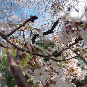 前に投稿したやつ、桜吹雪入れてみました(´^ω^) #sakura3d #埼玉 #桜     #写真好きな人と繋がりたい #写真で伝えたい私の世界 l #theta360