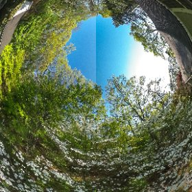 Dogwoods in Bloom #theta360