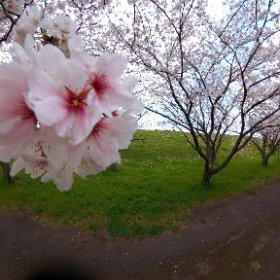 大分川の桜並木 #sakura3d #theta360