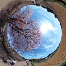 宮崎県東諸県国富町の「大坪一本桜」(ヤマザクラ)、樹齢150年です。お天気が良かったので、とてもきれいでした。 #theta360