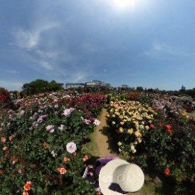 京成バラ園。上の方から撮ってみたら、こんな感じ。広々としたバラ園の雰囲気が伝わるでしょうか。太陽もギラギラ✨☀✨で暑かったです。 #theta360