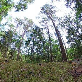 """Paraplyträd nr p7 """"Skrattande Trollet"""" i Skarnhålans gammelskog. Genom att sponsra trädet skyddar du det och dess närmaste omgivning för evigt.  https://naturarvet.se/paraplytrad-och-skogsrutor-i-skarnhalan/ #theta360"""