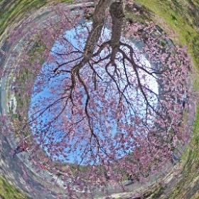 道の駅ピュアラインにしき(岩国市) のしだれ桜を見てきました。 色といい、枝ぶりといい 最高ですね。Theta S