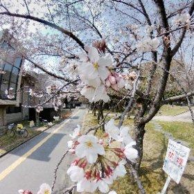 撮影:奈良女子大学キャンパス 2019.03.30 #桜 #cherry #mapillary #theta360