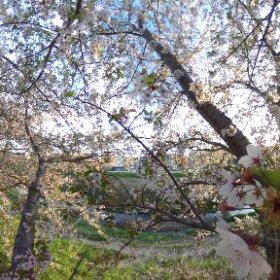 夕暮れ桜 #theta360