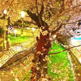 この春の桜、初撮り♪ #東京 #桜2018 #夜桜 #Lawson 桜で有名らしい#西武線 の#駅前 #thetaのある生活 #sakura3d #theta360