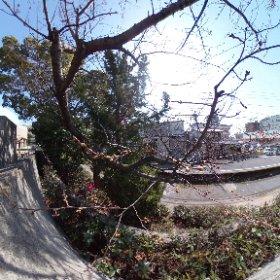 松山市コミュニティセンター、企画展示ホール南側の桜。まだつぼみがほころふまでには至らず。見頃は今月末ぐらいかなぁ? #theta360
