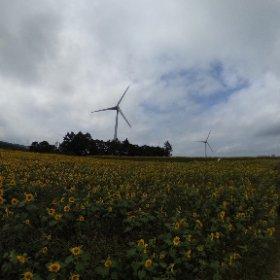 コレも会津布引高原のひまわりと風車です #theta360